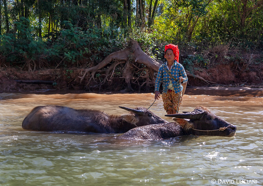 A woman and her water buffaloes crossing the river which connects  Indein with Inle Lake.