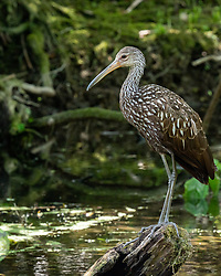 Limpkin standing on a stump on the Silver River in Ocala Florida.