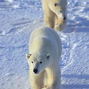Polar Bear cubs at Hudson Bay, Canada.