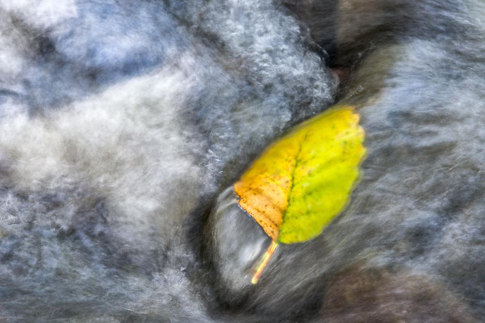 Pacific alder leaf (Alnus rubra), autumn, Olympic Peninsula, Washington, USA
