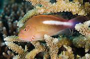 Arc-eye Hawkfish (Paracirrhites arcatus)<br /> Rainbow Reef<br /> Fiji. South Pacific