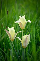 Tulipa 'Honky Tonk' AGM growing in long grass