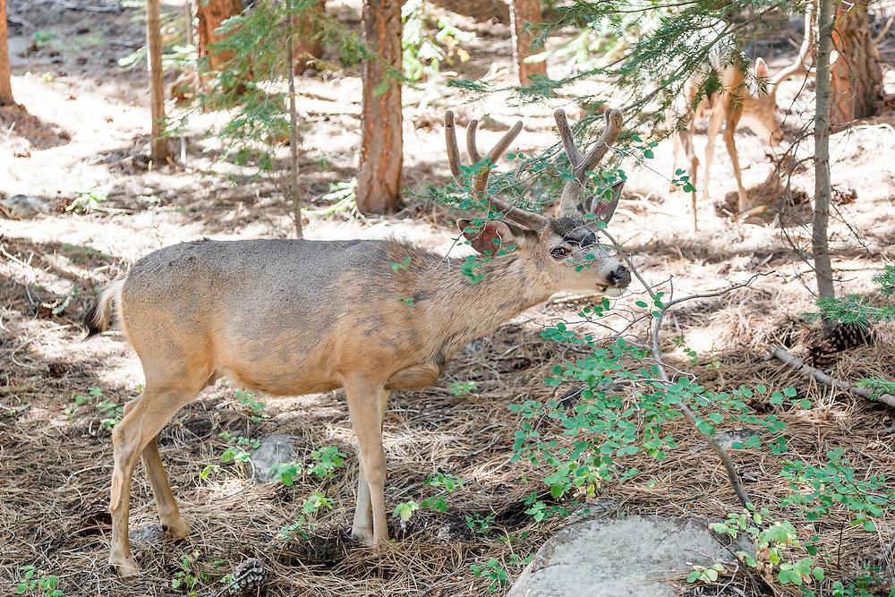 """""""Mule Deer in Tahoe Donner"""""""