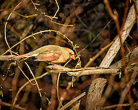 Female Northern Cardinal in the morning sun. Image taken with a Nikon D2xs camera and 80-400 mm VR lens (ISO 200, 400 mm, f/5.6, 1/500 sec).