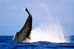 humpback whale, peduncle throw, Megaptera novaeangliae, Hawaii, Pacific Ocean
