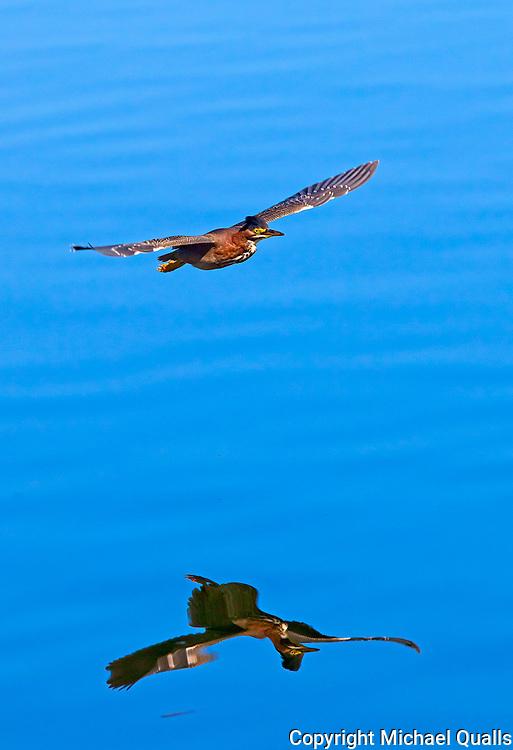 Green Backed Heron in flight, Lake Murray, CA.  USA.