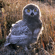 Snowy Owl, (Nyctea scandiaca) Nearly fledged chick in cotton grass. Barrow, Alaska.