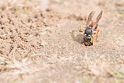 Purbeck mason wasp (Pseudepipona herrichii) with moth larva prey at nest burrow entrance. Dorset, UK.