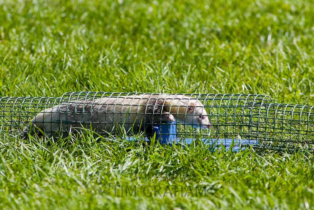 Ferret crawls through a wire pipe at ferret racing event, Oxfordshire, United Kingdom