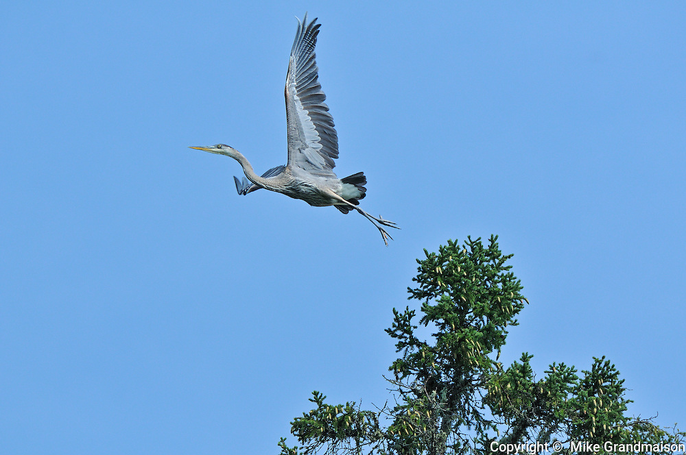 Great blue heron flying out of tree<br /> Ear Falls<br /> Ontario<br /> Canada