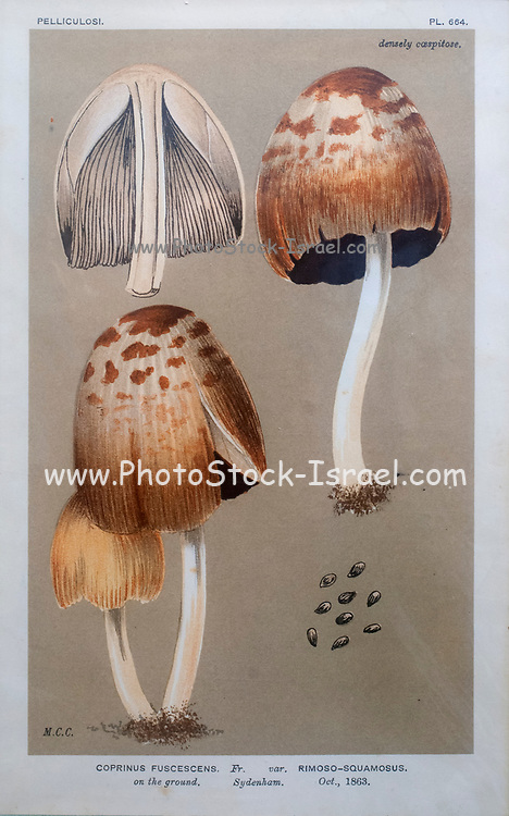 Hand painted Lithography of a Pelliculosi mushroom (Coprinus fuscescens) from a book plate 1863