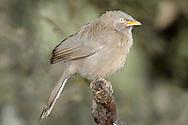 Jungle Babbler - Turdoides striata
