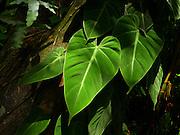 Lyon Arboretum, Manoa Valley, Honolulu, Oahu, Hawaii