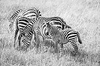 Zebra in the Masai Mara, Kenya.