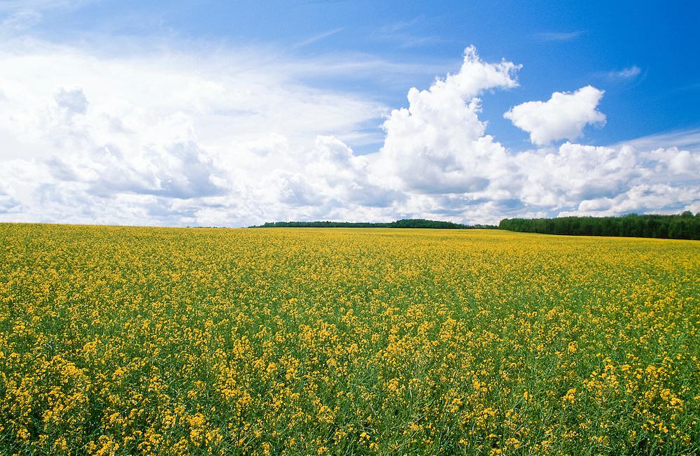 Canada . Yukon. Mustard fields along the Alaskan~Canadian Highway