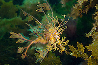 Male Leafy Sea Dragon Carrying Eggs..Shot in Australia