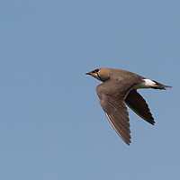 The oriental pratincole (Glareola maldivarum), also known as the grasshopper-bird or swallow-plover, is a wader in the pratincole family, Glareolidae.
