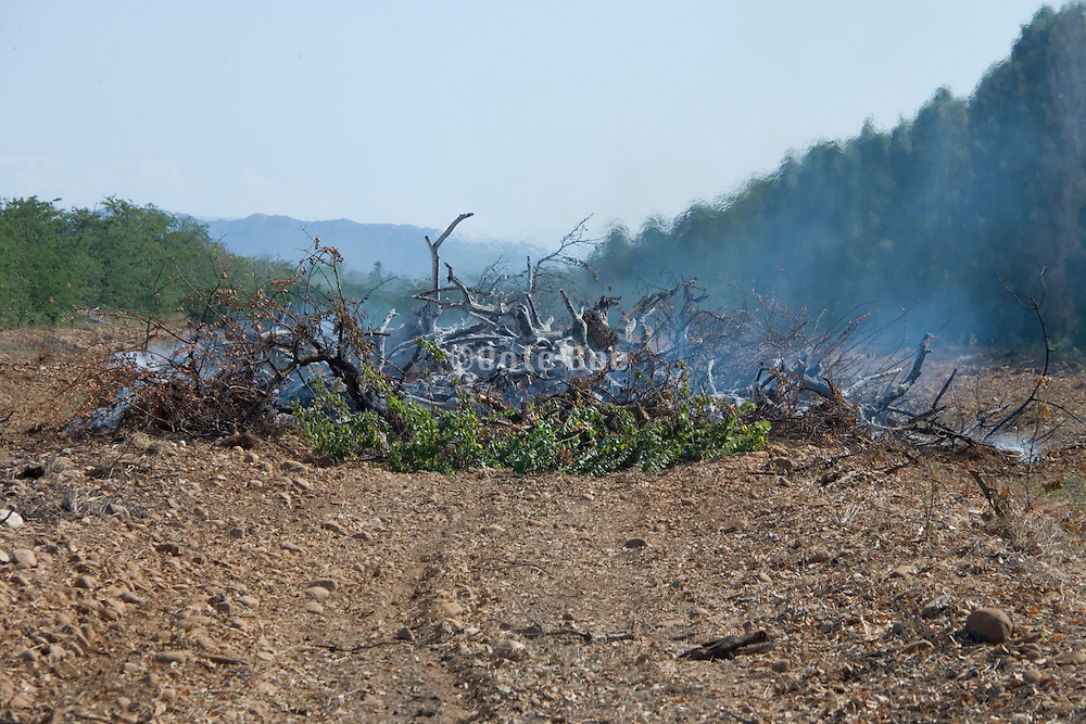 a controlled burning of old fruit trees France Provence