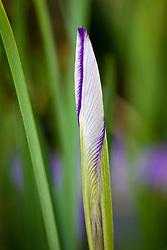 Iris unguicularis 'Mary Barnard' AGM - bud