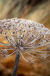 The giant seedhead of Heracleum stevenii - Hogweed