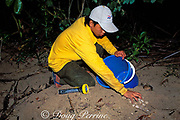 ranger at Turtle Islands Park collects eggs of hawksbill turtle, Eretmochelys imbricata, for removal to protected hatchery, Sabah, Borneo, Malaysia  ( South China Sea )
