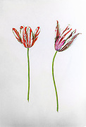 17th century watercolor painting of a Tulipa gesneriana (Gesner's Tulip, Didier's tulip or garden tulip) from Livre des Tulipes (Book of Tulips) by Nicolas Robert c. 1650