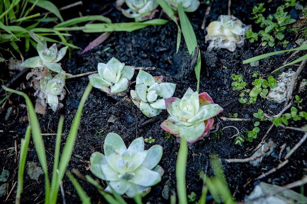 Dudleya farinosa, growing in their native habitat along the Northern California Coast.