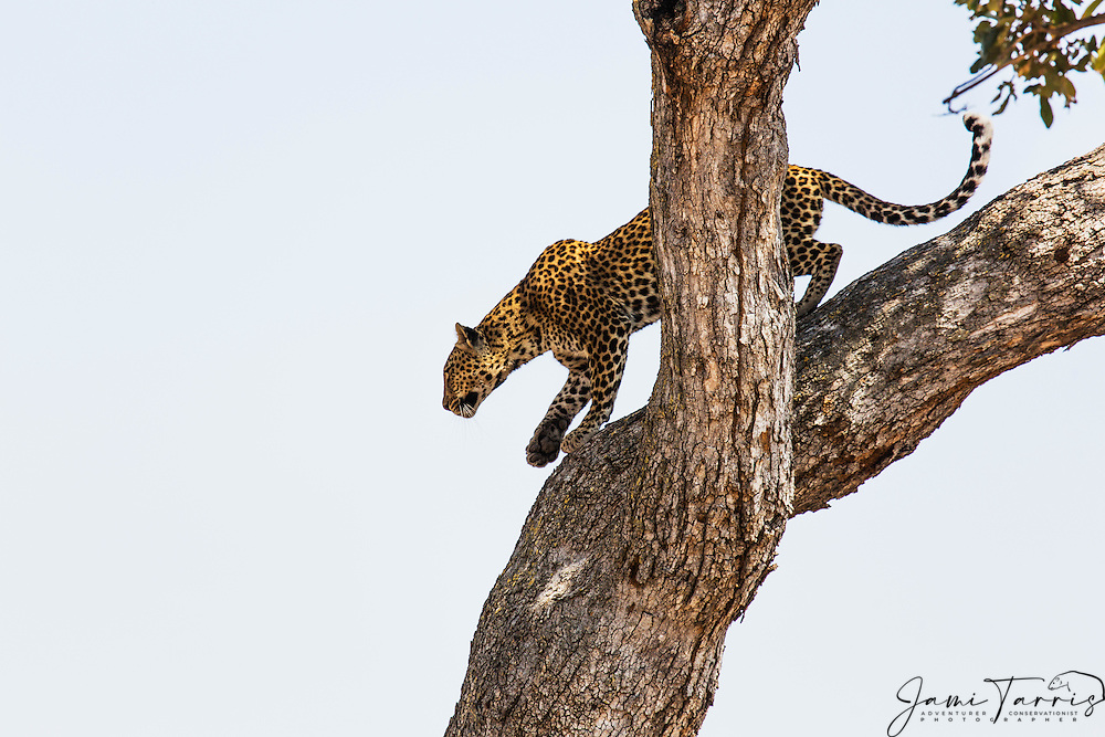 A leopard (Panthera pardus) climbing down a tree,  Chobe National Park, Botswana, Africa