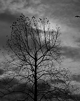 Not many leaves left on the Sycamore tree. Image taken with a Leica D-Lux 7 camera (ISO 200, 23 mm, f/9, 1/4000 sec).
