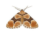 70.140 (1810)<br /> Marsh Carpet - Gagitodes sagittata