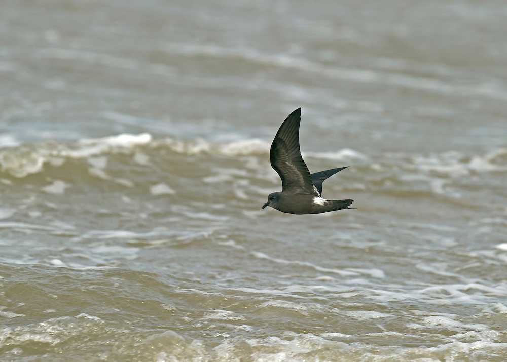Leach's Storm-petrel Oceanodroma leucorhoa L 16-18cm. More robust and longer-winged than British Storm-petrel; flight is ever-changing flight with powerful wingbeats and glides. Sexes are similar. Adult is dark sooty-grey except for pale panel on upperwing coverts. Fork in tail and grey central line on rump can be hard. Underwings are all-dark. Juvenile is similar to adult. Voice Silent at sea; weird gurgling rattles are heard when nesting. Status Truly oceanic. Very locally common but hard to see. Only willingly comes close to land after dark, at breeding colonies.