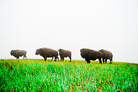 American bison in the fog, Wind Cave National Park, Black Hills, South Dakota USA
