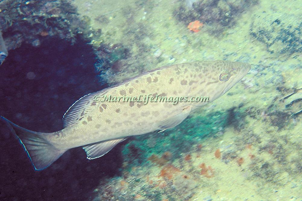 White Grouper inhabit reefs in Coastal Venezuela and associated islands; picture taken Isla Cubagua, Venezuela.