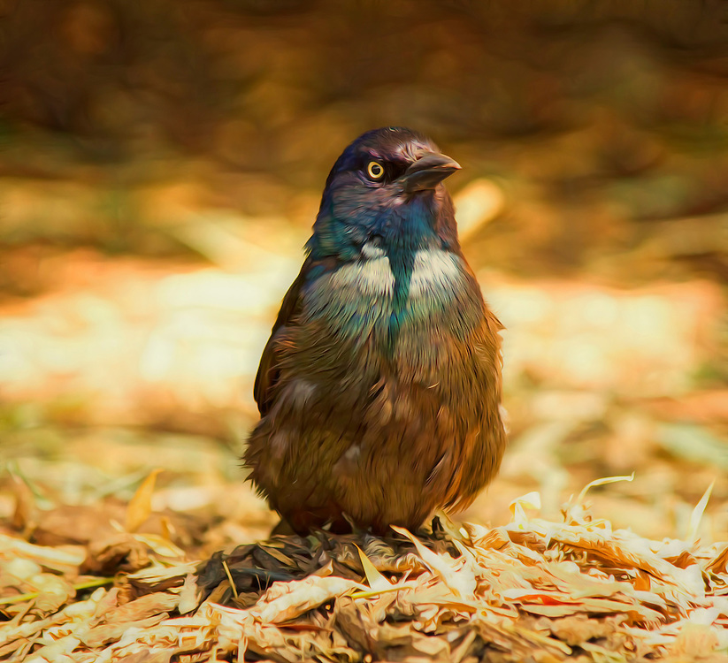 This beautiful common grackle was hanging out at the Saint Louis Zoo with the Prairie Dogs and Peacocks.