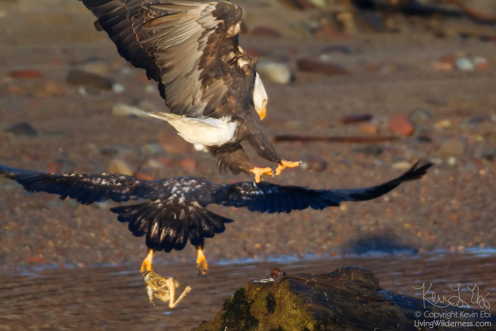 A juvenile bald eagle (Haliaeetus leucocephalus) defends itself and its scrap of food from an attacking adult bald eagle along the banks of the Squamish River in Brackendale, British Columbia, Canada.