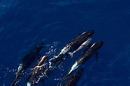Globicephala melas (Long-finned pilot whale)