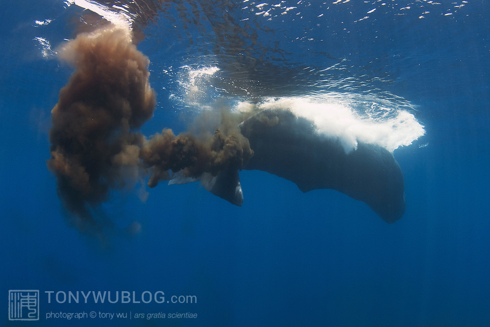 Sperm whales seem to pass gas and defecate a lot when they are at the surface. This is something I have observed consistently across different sperm whale populations. This is the largest quantity of excrement that I've seen from a sperm whale.