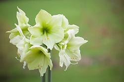 Hippeastrum 'Lemon Lime' (Amaryllis)