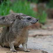 Hyrax, a baby hyrax decides to jump over it's mother. Kenya, Africa.   Yellow-spotted rock hyrax, mother with babies, Masai Mara National Reserve, Kenya.