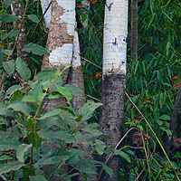 Lines on tree trunks mark the annual rainy-season floodwater level in Peru's Amazon Jungle.