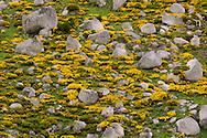 France, Languedoc Roussillon, Lozère (48), Cevennes, Mont Lozère, genêts purgatif