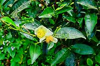 Inde, Bengale Occidental, Darjeeling, Domaine du thé de Castleton, théier ou Camellia sinensis en fleur // India, West Bengal, Darjeeling, Castleton tea estate, tea tree ou Camellia sinensis in flower