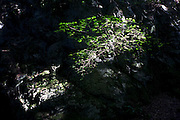 In a shaft of sunshine, a tree clings to a rocky crag in deep English woodland.