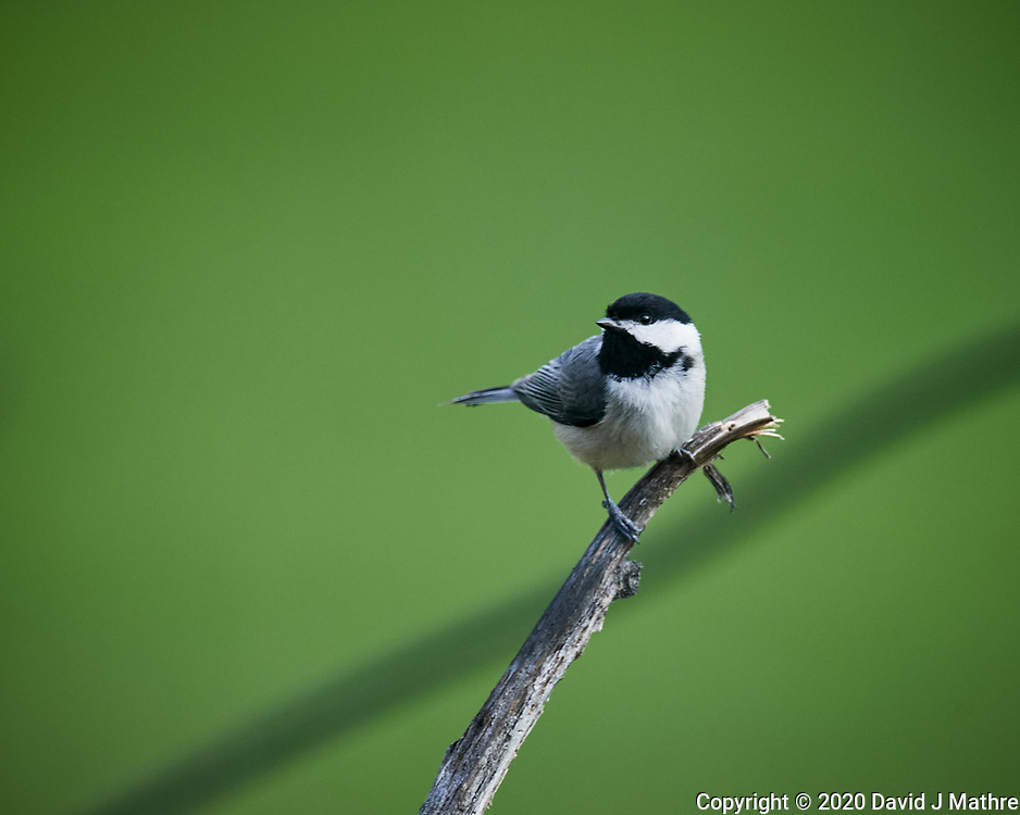 Black-capped Chickadee. Image taken with a Nikon D5 camera and 600 mm f/4 VR lens (ISO 1400, 600 mm, f/5.6, 1/1250 sec)