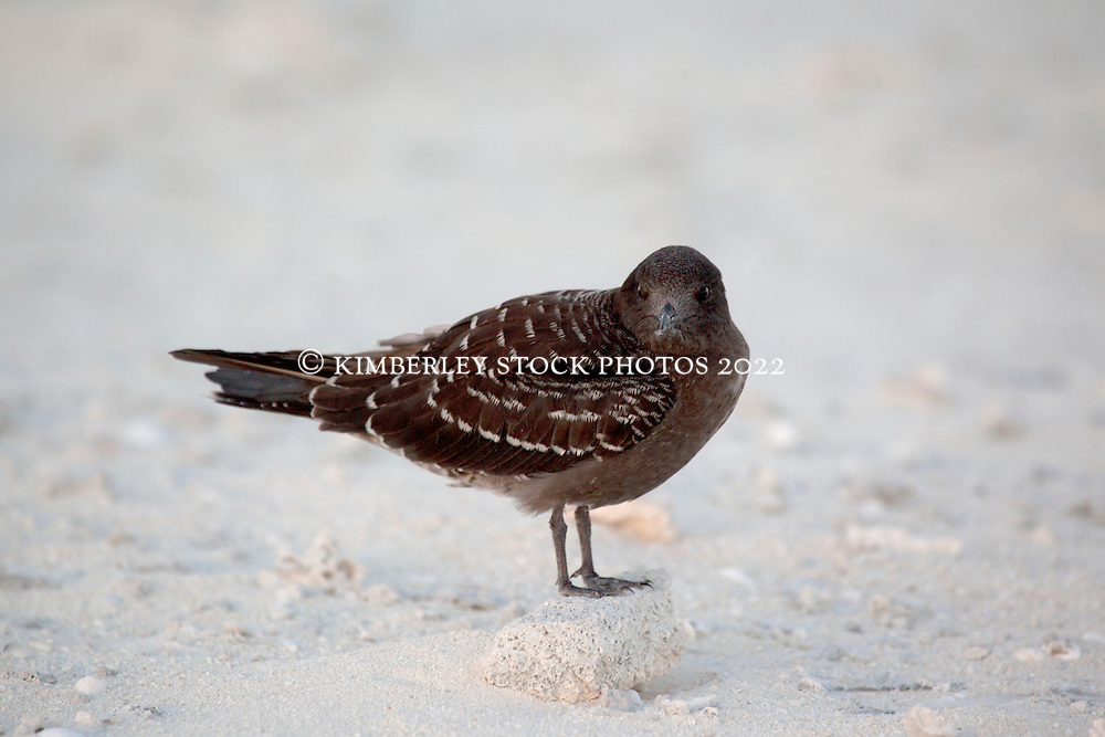 A Wedge-tailed Shearwater (Puffinus pacificus) on Bedwell Island at the Rowley Shoals.  Bedwell Island is considered an important resting site for migratory birds.