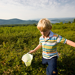 A young boy picks blueberries in Alton, New Hampshire.