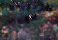The orb web of the Common Garden Spider (Araneus diadematus) showing close spirals in extensive array