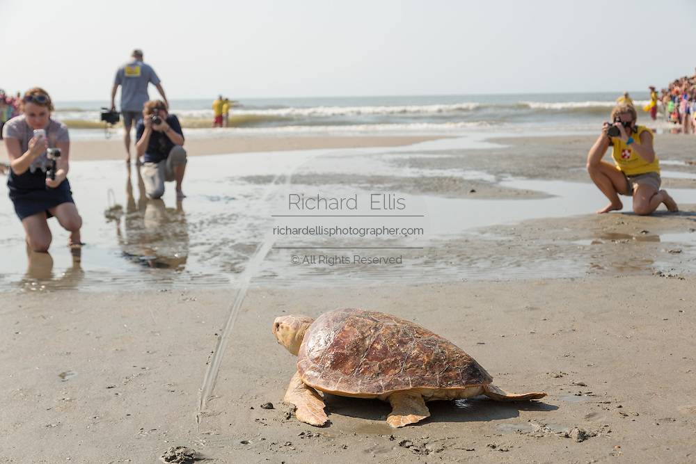 Members of the media watch Mitchell, a 65-pound juvenile loggerhead sea turtle crawl back to the ocean during the release of rehabilitated sea turtles August 6, 2014 in Isle of Palms, South Carolina. The turtle was found entangled in a fishing line, malnourished and covered in barnacles and rehabilitated by the sea turtle hospital at the South Carolina Aquarium in Charleston.