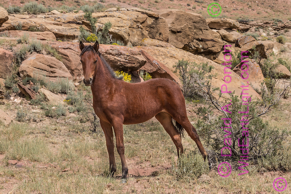 Wild filly has just risen off the ground in rugged landscape of northwestern New Mexico, © David A. Ponton