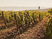 The straight lines of grape vines growing at a vineyard near Montalcino, Tuscany, Italy